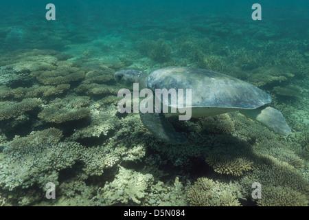 Australian flatback sea turtle ( Natator depressus ), swims over coral reef, Australia - Stock Photo