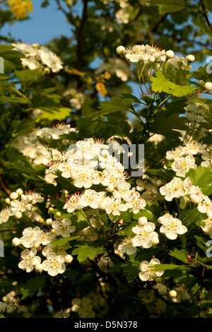 hawthorn tree with white flowers on sky - Stock Photo