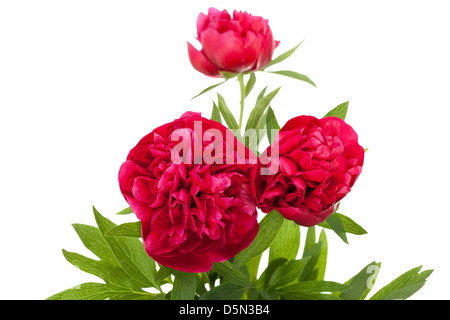 three red peony with leaf on white background - Stock Photo