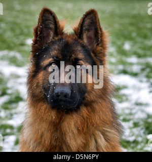 Alsatian / German Shepherd dog (Canis lupus familiaris) in garden during snow shower in winter - Stock Photo