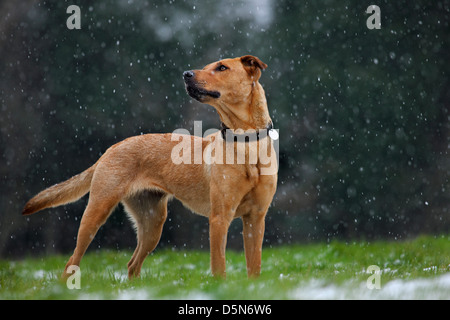 Mixed-breed dog (Labrador - Belgian shepherd dog / Malinois) in the snow in winter - Stock Photo