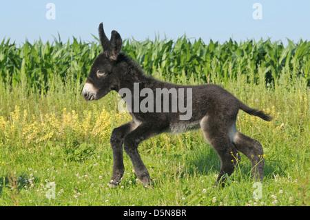 Two weeks old Poitou donkey foal - Stock Photo