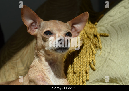 A tan color Chihuahua with eyes open and ears up, relaxes in a comfy spot. - Stock Photo