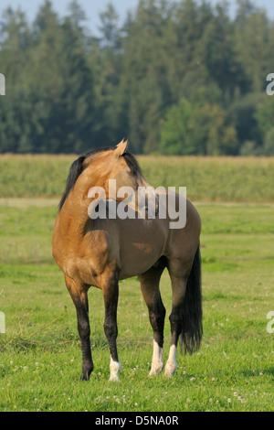 Lusitano horse stallion in the field - Stock Photo