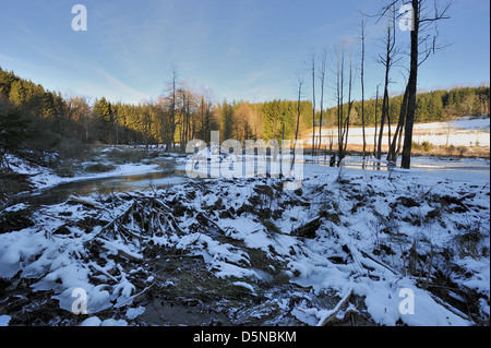 Eurasian Beaver (Castor fiber) vieuw in winter of dam & hut build by beaver - Stock Photo