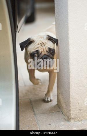 Curious pug - Stock Photo