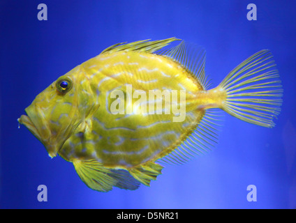 John Dory, also known as St Pierre or Peter's Fish (Zeus faber) - Stock Photo