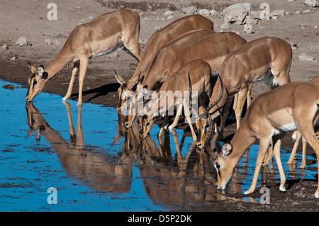 Group of Impalas, Aepyceros melampus, drinking at a waterhole in Etosha National Park, Namibia, Africa - Stock Photo