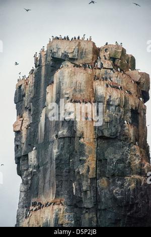 Thick-Billed Murres or Brunniche's Guillemots, Uria lomvia, Nesting Colony, Alkefjellet, Cape Fanshaw, Hinlopen - Stock Photo