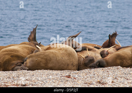 Walrus haul-out, Odobenus rosmarus, Torelineset, Svalbard Archipelago, Norway - Stock Photo