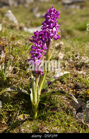 UK, England, Yorkshire, Malham Cove, purple orchid growing in limestone pavement - Stock Photo