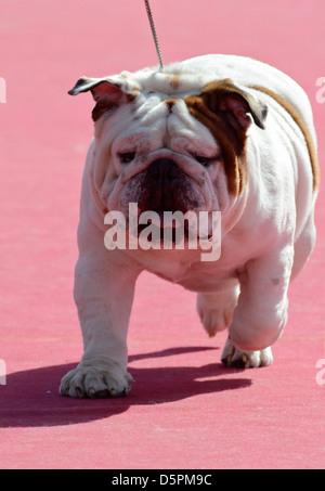 English Bulldog at a dog show - Stock Photo