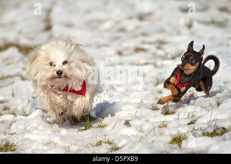 2 dogs playing in the snow, Havanese with red neckerchief and the Pinscher with red harness. - Stock Photo