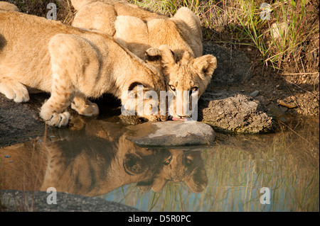 Two lion cubs drinking in Antelope Park, Zimbabwe - Stock Photo