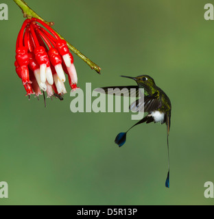 male Booted Racket-tail (Ocreatus underwoodii) in flight after taking nectar from an Ericacea (Psammisia sp.) flower - Stock Photo
