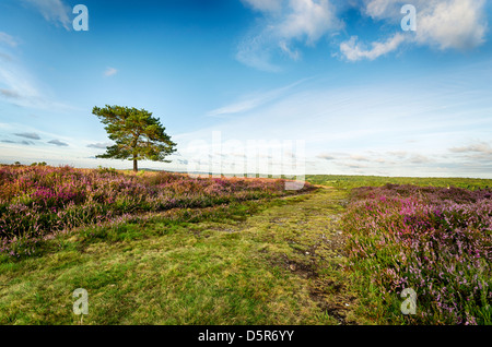 Scots pine tree beside a track on Rockford Common in the New Forest National Park in Hampshire. - Stock Photo