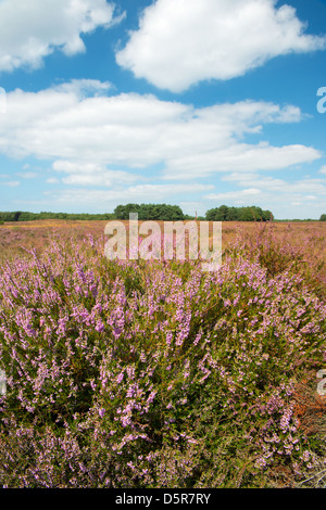 Landscape with flowering heather plants - Stock Photo