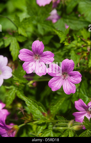 GERANIUM FLOWERS IN DOMESTIC GARDEN UK - Stock Photo