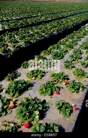 strawberry fields on farm in Oxnard Southern California USA - Stock Photo