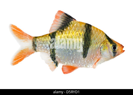 The tiger barb, Puntius tetrazona or sumatra barb. - Stock Photo