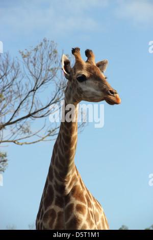 Giraffe portrait with beautiful sunlight  in Moroccan national zoo - Stock Photo