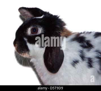 Dwarf Lop Rabbit juvenile male - Stock Photo