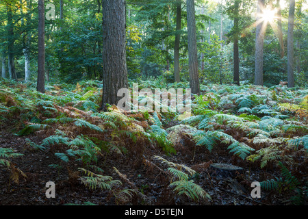 A burst of sunlight through the trees of Harlestone Firs with a hint of early autumn colours, Northamptonshire, - Stock Photo