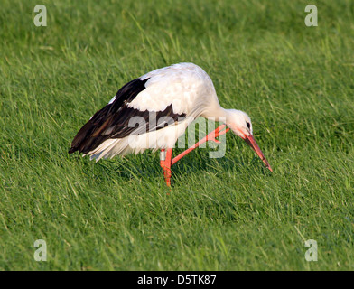 White Stork (Ciconia ciconia) preening its feathers in a grassy green spring meadow - Stock Photo