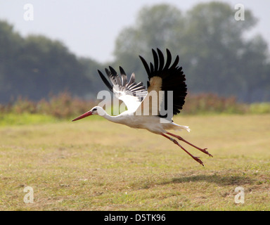 White Stork (Ciconia ciconia) taking off into flight in a summer meadow - Stock Photo