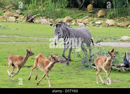 HANDOUT - A handout file dated 24 September 2012 shows three Nile lechwe (Kobus megaceros) run across their enclosure - Stock Photo