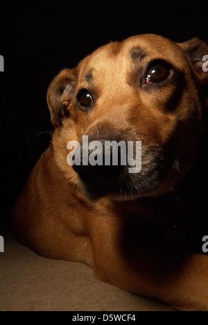 Photograph of a sad faced Labrador dog - Stock Photo