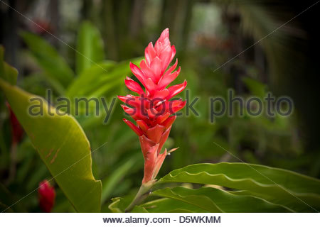 Red Ginger flower Alpinia purpurata on the island of Maui in the State of Hawaii USA - Stock Photo