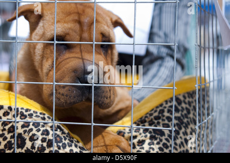 Chinese Shar-Pei - Stock Photo
