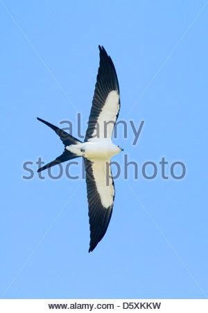 SWALLOW-TAILED KITE (Elanoides forficatus) in flight, Fort Myers, Florida, USA. - Stock Photo