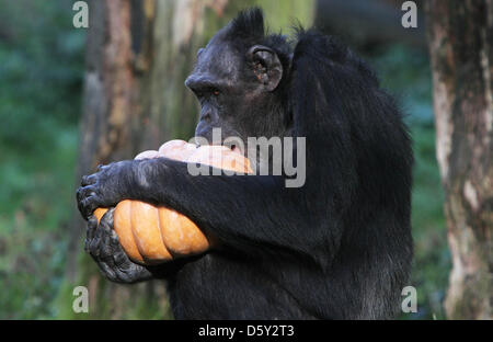 ARNHEM - One of the chimpanzees of Burgers' Zoo in the Dutch city Arnhem could Monday 8-10-2012 for the first time - Stock Photo