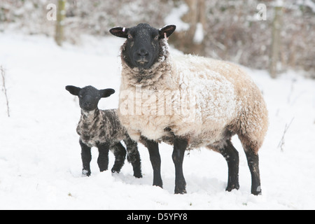 Black-faced ewe and lamb in snow - Stock Photo