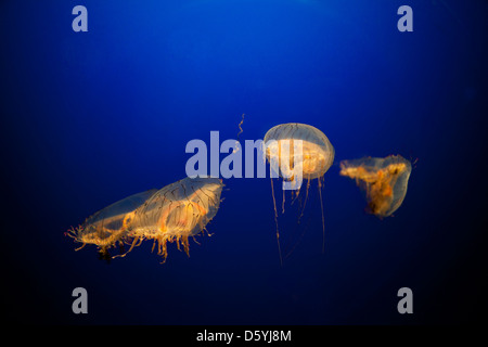 Gold Jellyfish against Blue Background - Stock Photo