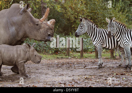 The white rhinoceros Vince of Burgers' Zoo in the Dutch city Arnhem and born in September, plunged his self Thuesday - Stock Photo