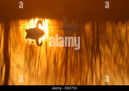 Pair of Mute swanäs (Cygnus olor) at sunset, Europe - Stock Photo