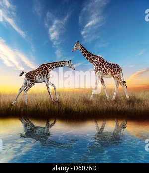 Two Giraffes At Sunset With Water Reflection - Stock Photo