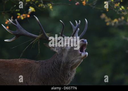 Roaring Red Deer (Cervus elaphus), Europe - Stock Photo