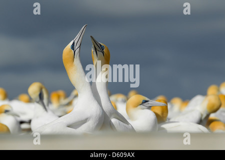 Australasian gannet Morus serrator (Takapu), adult pair, courting at nesting colony, Cape Kidnappers, New Zealand - Stock Photo