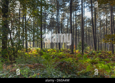 Polygon Wood in the early morning sunlight, World War One Cemetery and Memorial, Ieper (Ypres), Flanders, Belgium, - Stock Photo