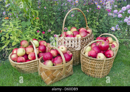 green and red apples in basket. red sweet apples in baskets - stock photo green and basket o