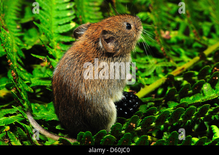 A harvest mouse on a green fern - Stock Photo