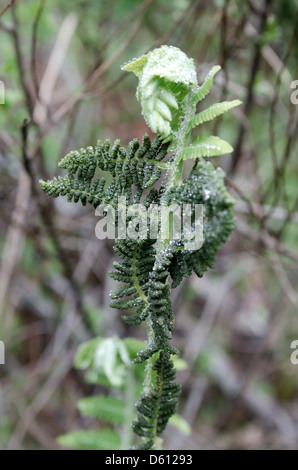 Fern frond opening in spring, Ship Harbor Nature Trail, Acadia National Park, Maine - Stock Photo