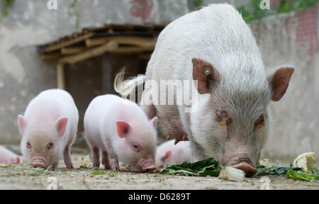 Mini pig miniature pigs domestic pig stock photo - What do miniature pigs eat ...