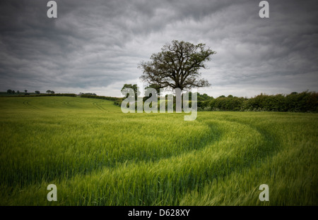 Tracks to a lone tree in rural Hardwick, Derbyshire England UK - Stock Photo