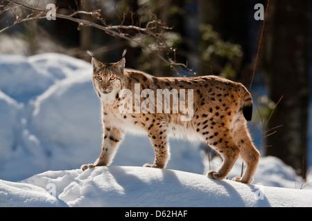 Portrait of Eurasian Lynx (Lynx lynx) walking in deep snow. Germany, Bavaria, National Park Bayerischer Wald. - Stock Photo