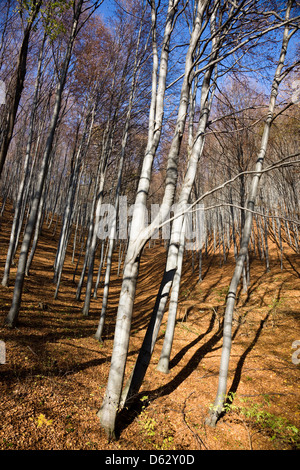 Common beech (Fagus sylvatica) in Buekk National Park in fall. Buekk National Park is the greatest forested area - Stock Photo